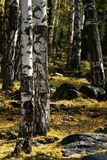 birchwood Стоковые Фото