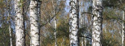 Birchwood in autumn Royalty Free Stock Image