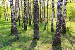 Birchwood (Betula) Royalty Free Stock Photography