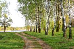 Birchwood brilhou com o sol Imagem de Stock Royalty Free