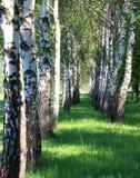 Birchwood brilhou com o sol Fotos de Stock