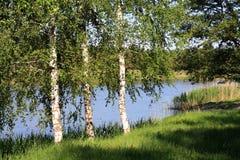 Birchwood brilhou com o sol Fotos de Stock Royalty Free