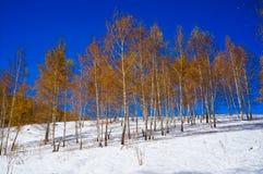 Birchwood con amarillo se va en el invierno, encendido Foto de archivo