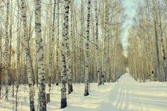 Birchwood d'hiver Images libres de droits