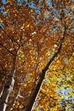Birchwood in de Herfst Stock Foto