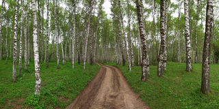 Birchwood de panorama Images stock