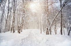 Birchwood del invierno Imagen de archivo