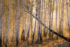 Birchwood an der Dämmerung Stockfotos