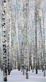 Birchwood di inverno Immagini Stock Libere da Diritti