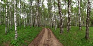 Birchwood do panorama Imagens de Stock