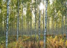 Birchwood em feixes do sol na queda adiantada. fotografia de stock royalty free