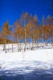 Birchwood en el invierno, con las hojas amarillas encendido Imagenes de archivo
