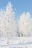 Birchwood in hoarfrost on a sunny winter day Royalty Free Stock Photography