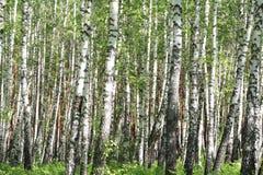 Birchwood i en sommar, solig dag Royaltyfria Bilder