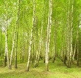 Birchwood im Frühjahr Lizenzfreies Stockfoto