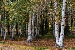 Birchwood im Park Stockbilder
