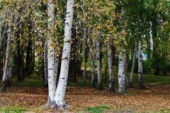 Birchwood im Park Lizenzfreies Stockfoto