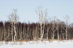 Birchwood im Winter. Stockfoto