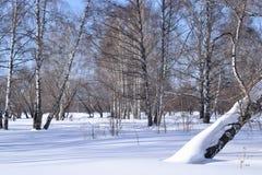 Birchwood im Winter Stockfoto