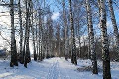 Birchwood in inverno La Russia Immagini Stock Libere da Diritti