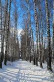 Birchwood in inverno La Russia Immagine Stock