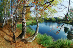 Birchwood na costa do lago. fotografia de stock