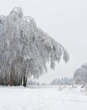 Birchwood na een ijzel Stock Afbeeldingen