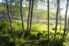 Birchwood in Norway. Sunshine through birchwood in Norway Stock Photos
