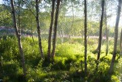 Birchwood in Norwegen Stockfotos