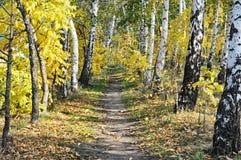 Birchwood Path Autumn. Footpath through sun dappled birch autumn forest. Sunny day Stock Photography