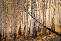 Birchwood przy świtem Zdjęcia Stock