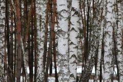 Birchwood russe Images stock