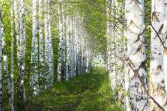 Birchwood, sentiero per pedoni coperto di erba verde nei tronchi lisci bianchi di una foresta della betulla degli alberi di betul immagini stock libere da diritti