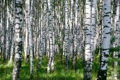 Birchwood am sonnigen Tag Lizenzfreie Stockbilder