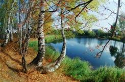 Birchwood sul litorale del lago. fotografia stock