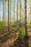 Birchwood at summer Stock Image