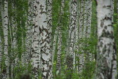 Birchwood. Summer white Birchwood at noon Stock Image