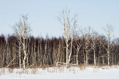 Birchwood in the winter. Stock Photo