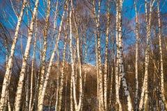 Birchwood Stock Images