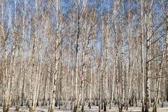 Birchwood in the winter Stock Photo