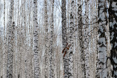 Birchwood in the winter Stock Photography
