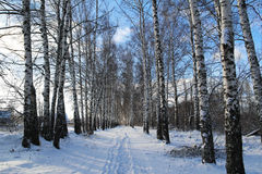 Birchwood in the winter. Russia. Birchwood in the winter in Russia Royalty Free Stock Images