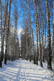 Birchwood in the winter. Russia. Birchwood in the winter in Russia Stock Image