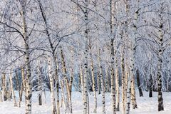 Birchwood in the winter with white snow and hoarfrost Stock Photography