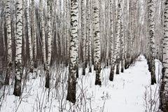 birchwood wysp Ladoga jeziorna Russia zima Zdjęcia Royalty Free