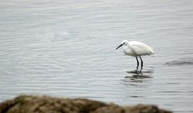 Bird. Little egret in water, lake Victoria. Tanzania Royalty Free Stock Photography