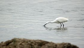 Bird. Little egret in water, lake Victoria. Tanzania Royalty Free Stock Photo