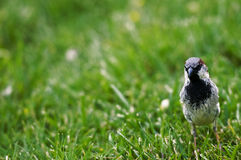 Bird. Picture of a little bird Royalty Free Stock Photography