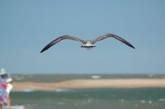Bird. The bird over sand coats of azov sea, Russia Stock Photography