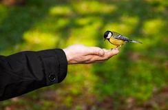 Bird. Little bird sitting on hand Royalty Free Stock Image